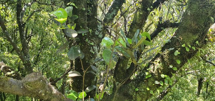 A large-leaved Griselinia grows in the crook of a branch high off the ground.