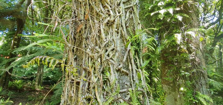 Tree trunks covered in an assortment of epiphytes.