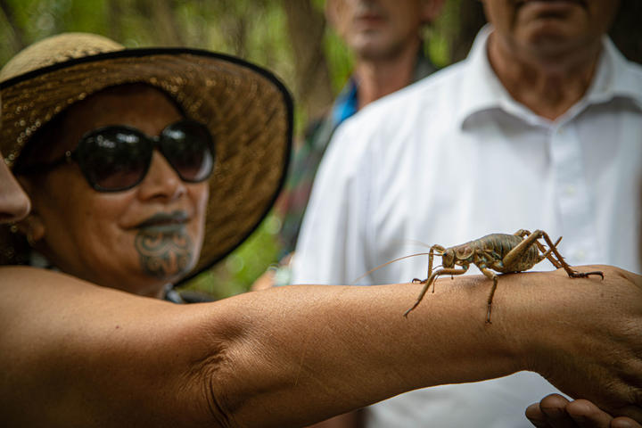 A wētāpunga being released onto a pest free island in the Bay of Islands, as part of Project Island Song. 14 December, 2020.