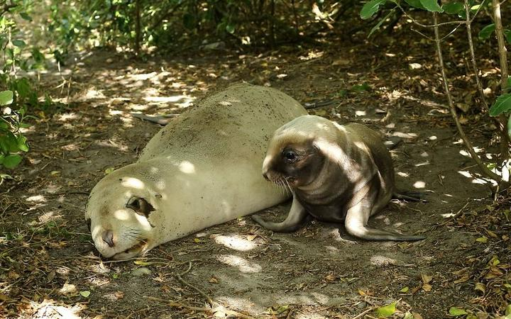 A Dunedin sea lion and her new-borne pup.