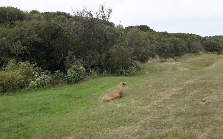 Hiriwa the sea lion on the fairway at Chisholm Links golf course.