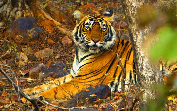 A Tigress Sultana is seen during a Jungle safari at the Ranthambore National Park in Sawai Madhopur district, Rajasthan, India on February 9, 2020.