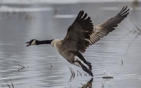Goose comes in for a landing on Hauser Lake in Idaho.