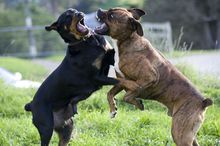 A Rottweiler, left, and a bull mastiff cross play fighting.