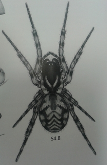 Illustration of a female Pacificana cockayni, from Spiders of New Zealand drawn by Nadine Duperre