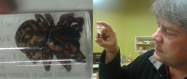 Only a few specimens of the Bounty Island endemic spider Pacificana cockayni have ever been collected, including this female in the Te Papa spider collection, held by Phil Sirvid.