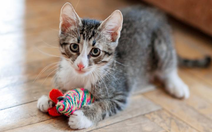 Cute gray kitten is playing with a toy mouse.  Funny animal on the ground.