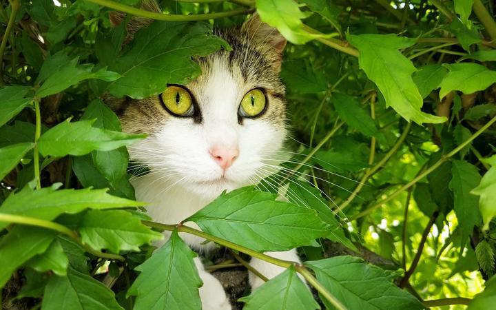 Le chat se cache dans la brousse sous les feuilles
