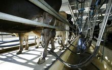 milking shed and cow