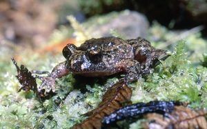 The Hochstetter's frog is native to New Zealand.
