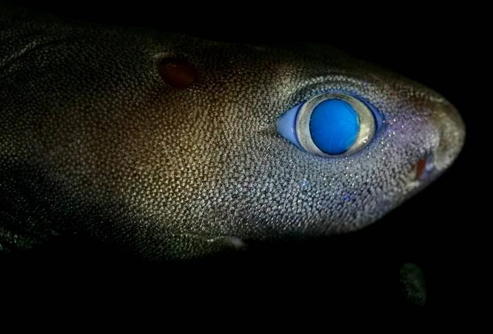 Glowing shark documented by Dr Jérôme Mallefet of UCLouvain on a NIWA research voyage to the Chatham Rise.