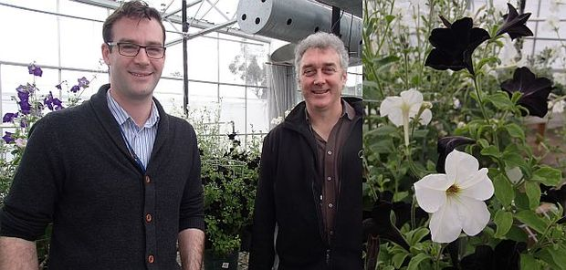Plant biologists Nick Albert (left) and David Lewis (right) are interested in how plants such as petunias (pictured at right) use genes to turn pigment on and off.