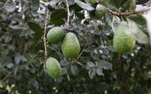 feijoas on tree