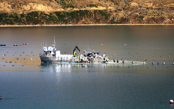 Workers in a mussel farm in the Marlborough Sounds.