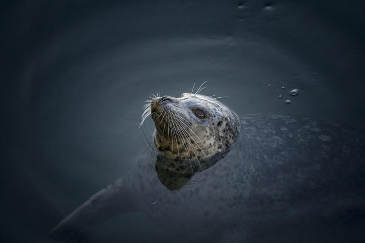 A harbour seal at Vancouver Island, waiting for fish.