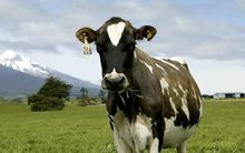 The company says the mutation allows cows like Holsteins to cope with heat better.