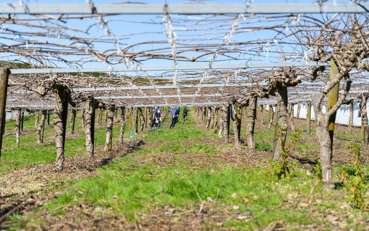 Te Puke New Zealand - September 20 2019; Kiwifruit orchard before new spring growth at pruning time with pruning gang further along the row under the canopy.