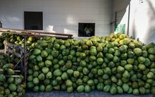 Harvested coconuts are stacked together at a coconut water factory in Acajutiba, Brazil, in February 2014.