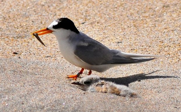 A fairy tern and its chick.