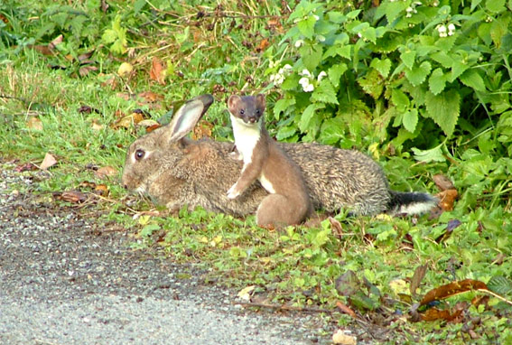 Rabbits are the main diet of stoats like this one, but they also do significant damage to native species.