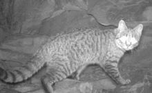 The feral cat is a wanted animal in Australia.
