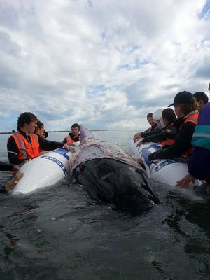 Rescuers try to save the whales.