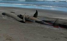 Pilot whales died on the coast near Opotiki after stranding again.