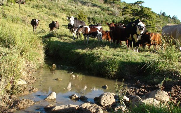 dirty dairying in new zealand essay New zealand's dirty dairy - huffington post (huffingtonpostcom) submitted 11 months ago by kezzanz do you know if poultry is better or worse than dairy say per kilogram of protein produced im fine giving up beef for the future of new zealand.
