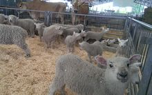 The show has attracted more than 6000 livestock  and feature competition entries.