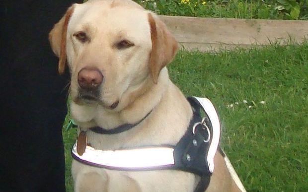 Gordy, a two-year-old yellow Labrador, went missing on Thursday in Newtown.