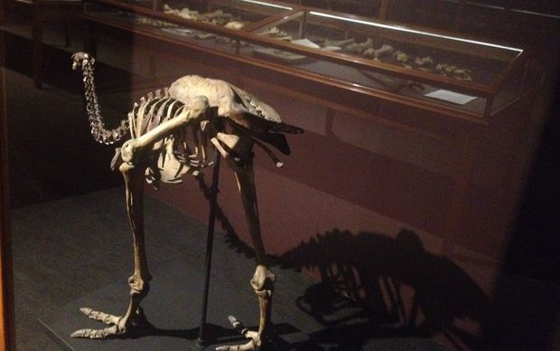 Moa skeleton at the Whanganui Regional Museum