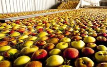 Fuji apples are prepared for export.