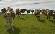 South Korea bought nearly $110 million of New Zealand beef last year.