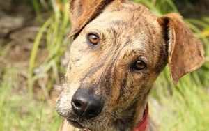 SPCA Whangarei dog - adopted out in September 2014