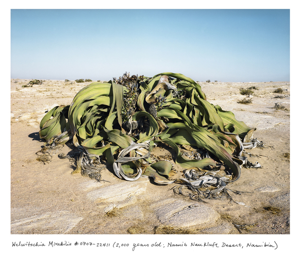 The 2000-year-old Welwitschia mirabilis, found in the Namib-Naukluft desert, produces only two leaves in its lifetime.