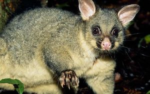 Possums are a big problem for farmers.