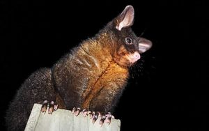 Researchers are working on devices that can identify a possum by its weight and trap it.