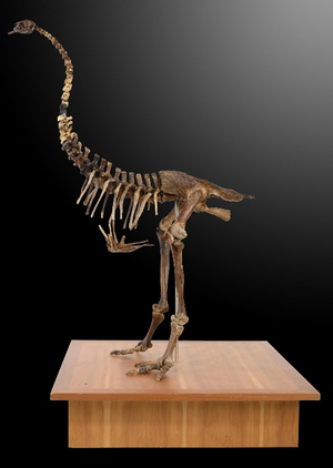 Moa skeleton for sale at auction in Britain