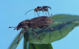 The female wasp lays eggs in the weevil which eventually kills it.