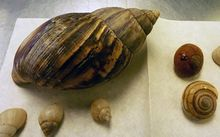 A giant snail carrying eggs has been apprehended at Auckland airport.