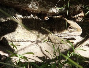 A project to map the genome of the tuatara is being carried out by the Allan Wilson Centre for Molecular Ecology and Evolution.