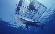 Blue Shark (Prionace glauca) an open ocean predator, swimming near a diver in cage in California.