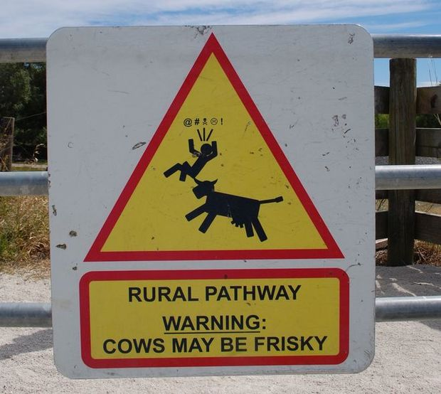 A sign near the Hawke's Bay cycleway trail - watch out for frisky cows.