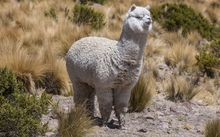 Tourists paid up to $4000 for alpaca rugs which were flogged off as New Zealand made when they were not.
