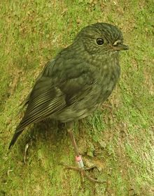 North Island robins are the perfect test subject for a study looking at cognition in wild animals. They can be very easily trained to do tasks in return for a food reward, and their nesting success can be easily followed.