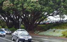The under-threat pohutukawa on Great North Road, near Western Springs and St Lukes Road, in Auckland.