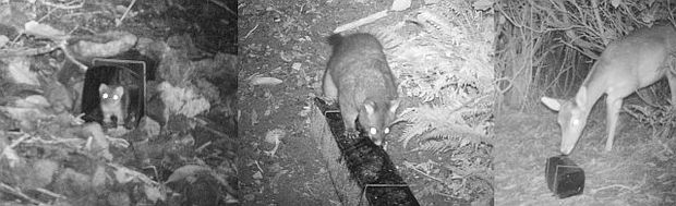 A mustelid (probably a stoat), possum and deer snapped on remote cameras around the edge of Zealandia Sanctuary.