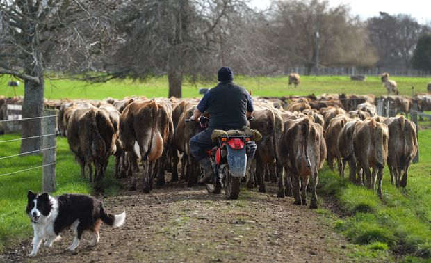 nz farmer herding cattle