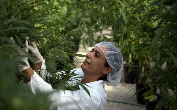 A woman tends medical cannabis plants in a greenhouse in northern Israel.