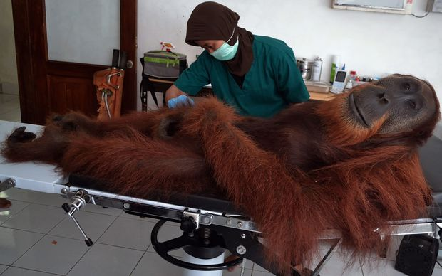 An examination is carried out on a male orangutan.